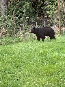 Click image for larger version.  Name:Bear 2a.jpg Views:20 Size:72.9 KB ID:264192